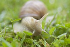 Grapevine snail. (close-up Royalty Free Stock Photo