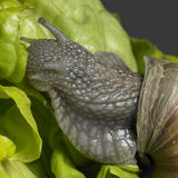 Grapevine snail closeup Stock Photography