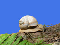 Grapevine snail, crawling on a tree trunk, fern leave, against b Royalty Free Stock Image