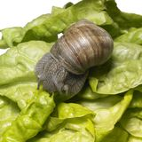 Grapevine snail at feed Stock Images