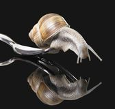 Grapevine snail on fork Royalty Free Stock Image