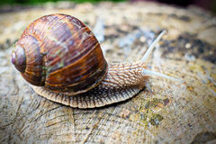 Grapevine snail Royalty Free Stock Image