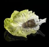 Grapevine snail on green lettuce leaf Royalty Free Stock Photography
