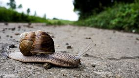 German grapevine snail royalty free stock photo