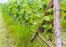 Grapevine. Some grapes on a grapevine in Khao Yai Thailand Stock Photography