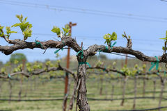 Grapevine in Spring. With Blue Sky royalty free stock photography