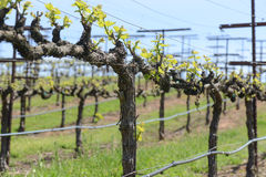 Grapevine in Spring. On a Trellis royalty free stock image
