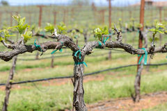Grapevine in the Spring stock photo