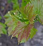 Grapevine starting to grow small grapes Stock Photos