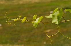 Grapevine on a sunny day Stock Photography