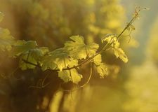 Grapevine at sunset Royalty Free Stock Image