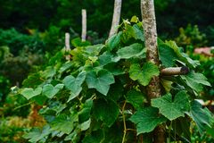Grapevine on trellis. stock image