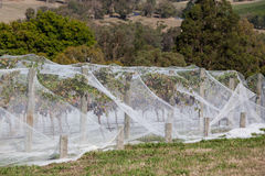 Grapevine Under Netting. Grapes in late harvest at a winery in Yarra Valley, Australia Royalty Free Stock Photos
