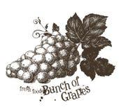 Grapevine vector logo design template. vine or vector illustration