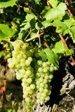 Grapevine in vineyard Stock Photo