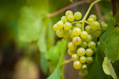 Grapevine in a vineyard Stock Photos