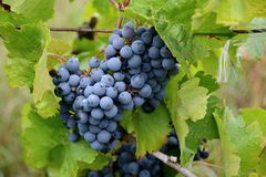 Grapevine on a vineyard, berries for making red wine. Grape vines Vitis vinifera are one of the oldest crops cultivated by humans. The fruit is berries with a royalty free stock images