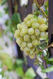 Grapevine in a vineyard Royalty Free Stock Images