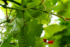 Grapevine in the vineyard. Grapes are blossoming out. Grapevine in the vineyard Royalty Free Stock Photo