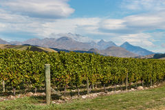 Grapevine in vineyard Stock Photos