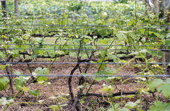 Grapevine. VINHEDO, SP, BRAZIL - OCTOBER 31, 2015 - Grapevine, fruitful plant of the Vitis genus, in spring, period when the fruits begin to sprout stock images