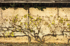 Grapevine On Wall Royalty Free Stock Photography