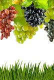 Grapevine on white background close-up Stock Photos