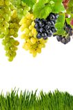 Grapevine on white background Royalty Free Stock Photography