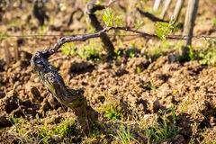 Grapevine with young leaves. royalty free stock image