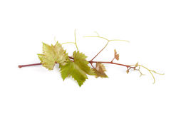 Grapevine Stock Photos