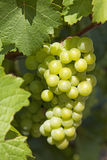 Grapevines Stock Photography