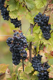 Grapevines. Blue grapevines at a vineyard Stock Photo
