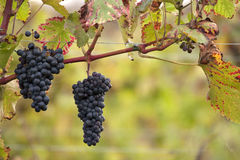 Grapevines. Blue grapevines at a vineyard Stock Images