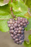 Grapevines Stock Images