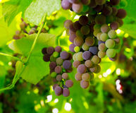 Grapevines Stock Photos