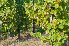 Grapevines Stock Image