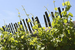 Grapevines Royalty Free Stock Photos