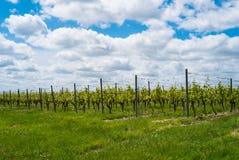 grapevines Стоковая Фотография