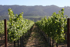 grapevines Imagens de Stock