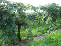 Grapevines. In a scenic vineyard Stock Photography