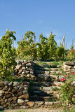 grapevines Стоковое Фото