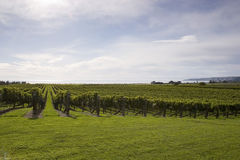 Grapevines. Grape vines growing by the sea in Haumoana, Hawke's Bay, New Zealand Stock Photography
