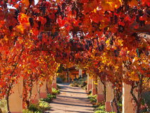 Grapevines. At a Paso Robles, CA winery during autumn Royalty Free Stock Photos