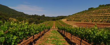 Between the grapevines. Panorama of biodynamic vineyard in Sonoma California royalty free stock photography