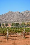 Grapevines by Agia Triada monastery, Crete. Royalty Free Stock Photography