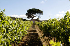 Grapevines Alley - Agriculture - Small Business - Sun Royalty Free Stock Photos