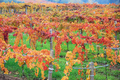 Grapevines in autumn. Colors against a green field royalty free stock images