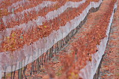 Grapevines in autumn Stock Photos