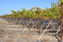 Grapevines in Autumn Royalty Free Stock Photos