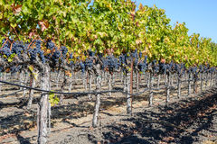 Grapevines in Autumn Royalty Free Stock Photo